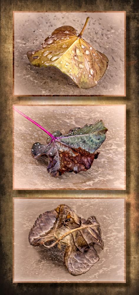 Fallen Leaves Triptych, d'Ellis Photographic Art photographs, Elsa