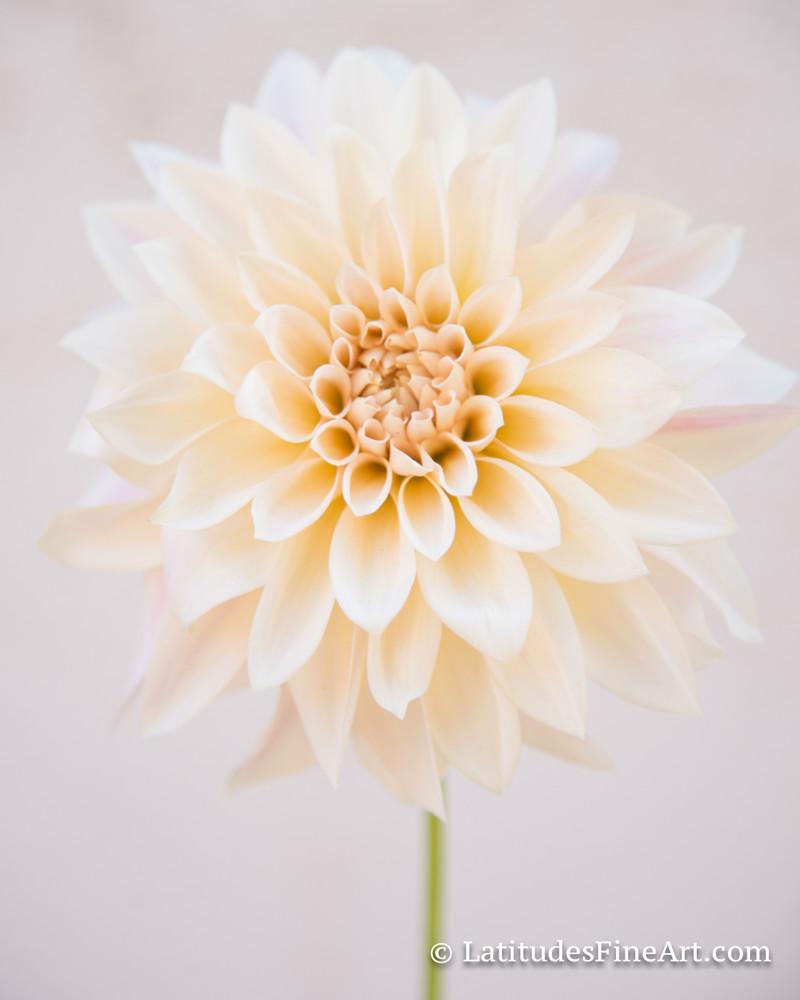 """Soft Yellow Dahlia"""