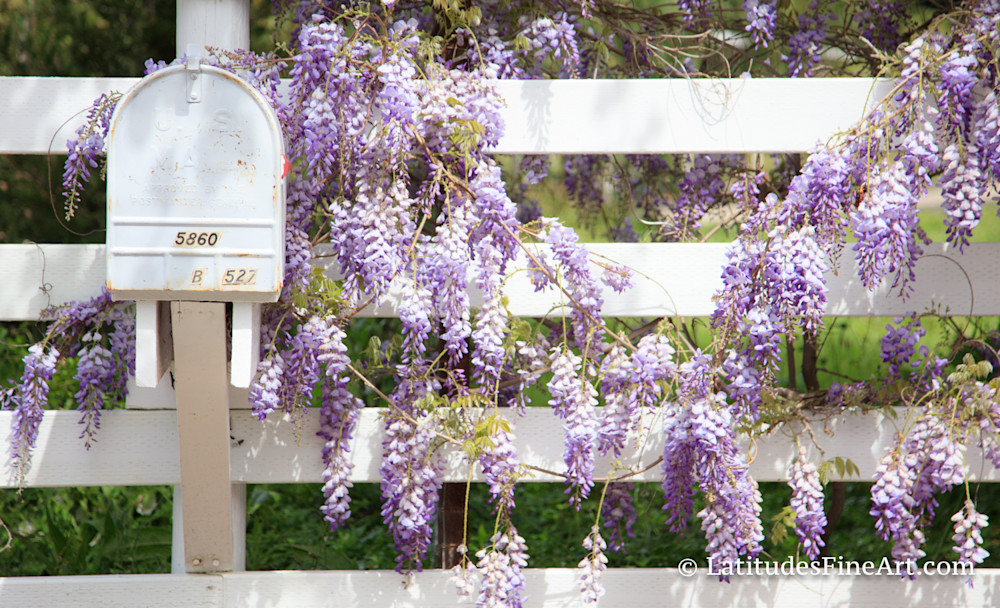 """Lavender Flowers, White Fence"""