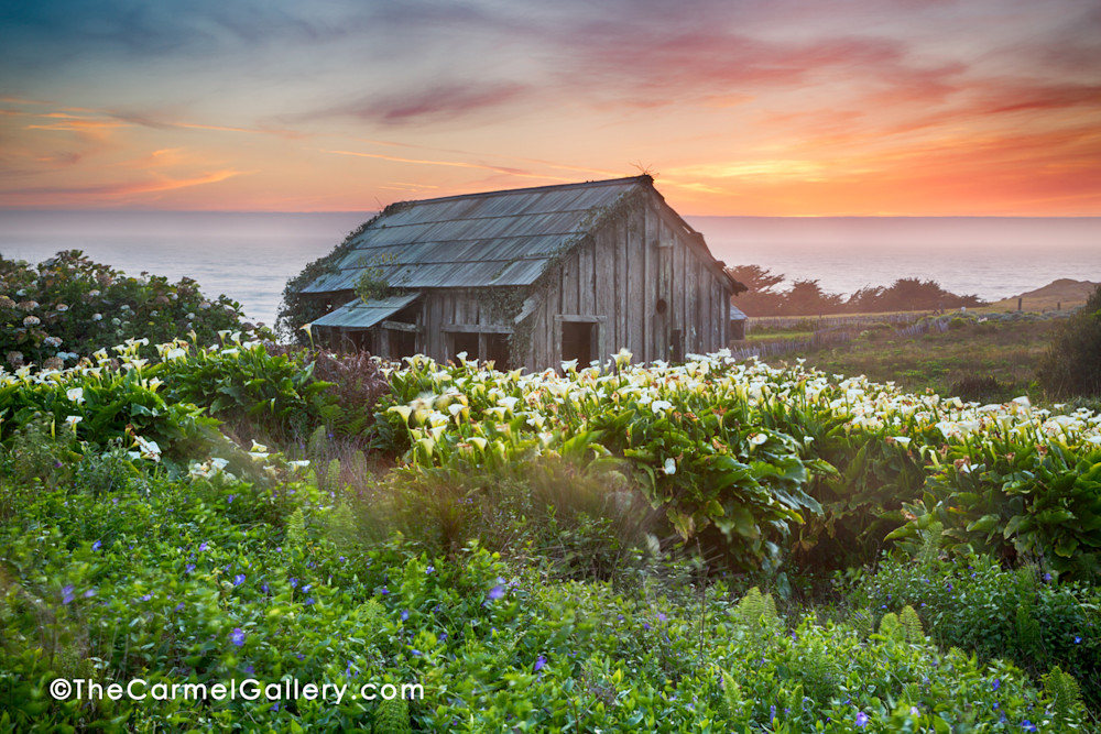 Old homesteader barn and Calla Lilies at Black Point in Sea Ranch at sunset.