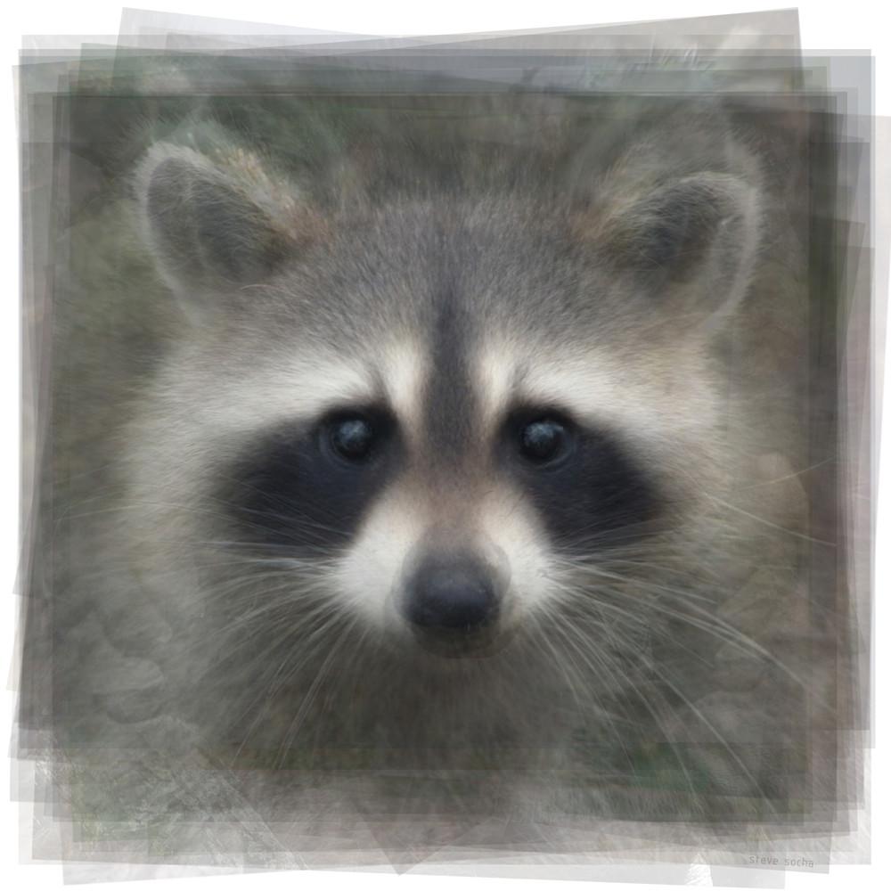 Overlay art – contemporary fine art prints of a Raccoon