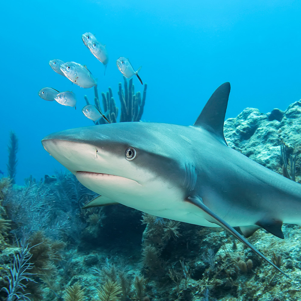 UW 356: Reef Shark, Key Largo, Florida