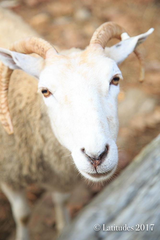 """Sheepish Close Up"""