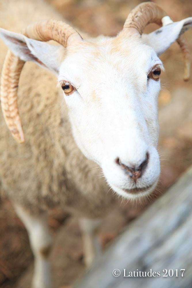 """Sheepish Close Up"" 2"