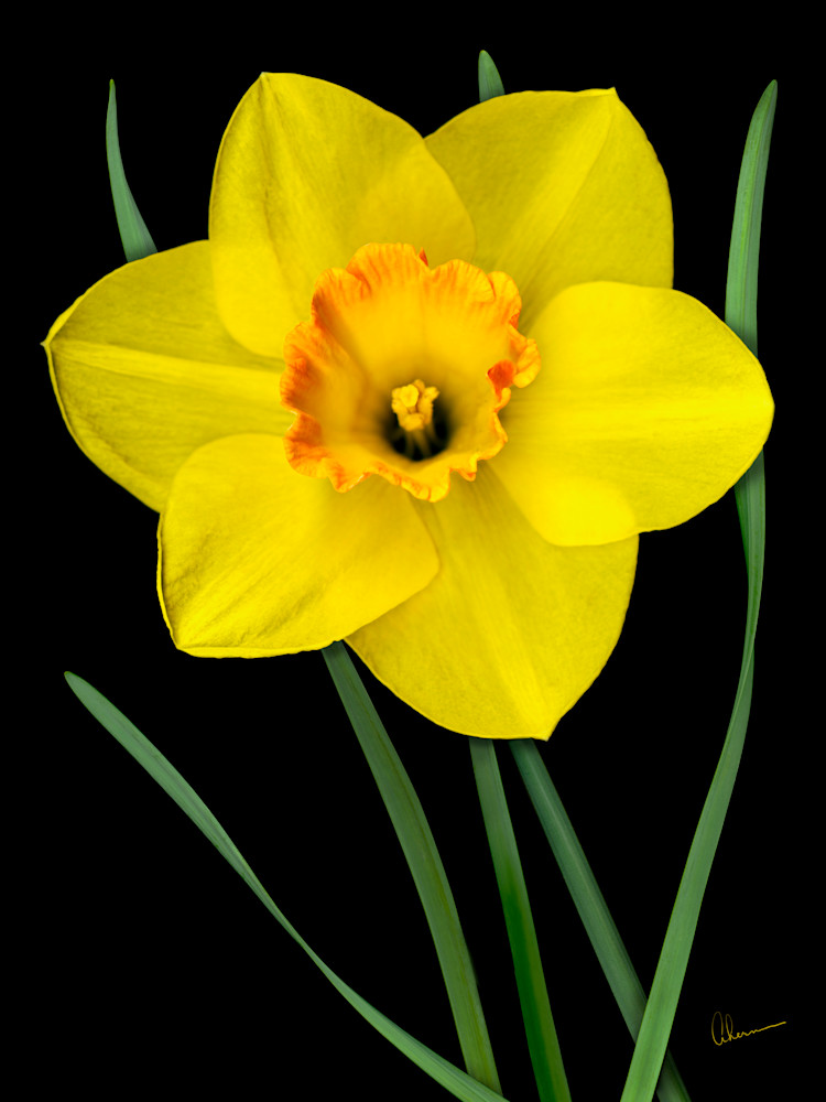 Single Yellow Daffodil wall art. Contemporary ultra high resolution wall art. A print of an original artwork by Mary Ahern Artist.