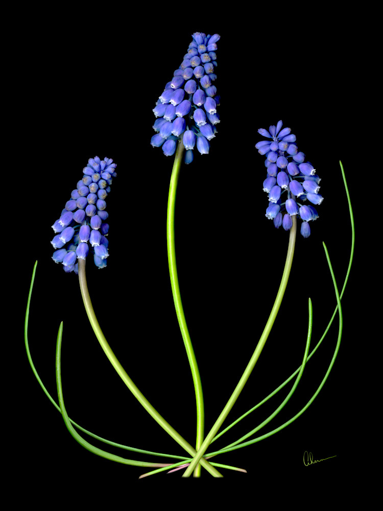 Grape Muscari. Contemporary ultra high resolution wall art. A print of an original artwork by Mary Ahern Artist.