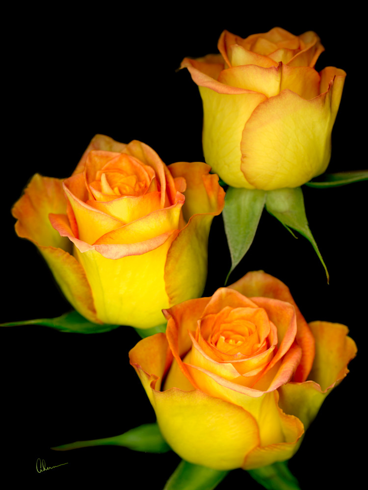 Triple Yellow Roses on a Black Background by the artist, Mary Ahern.