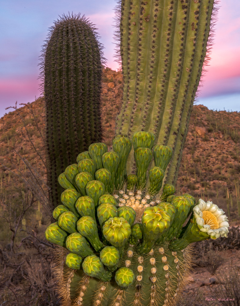 Saguaro Arm in Bloom