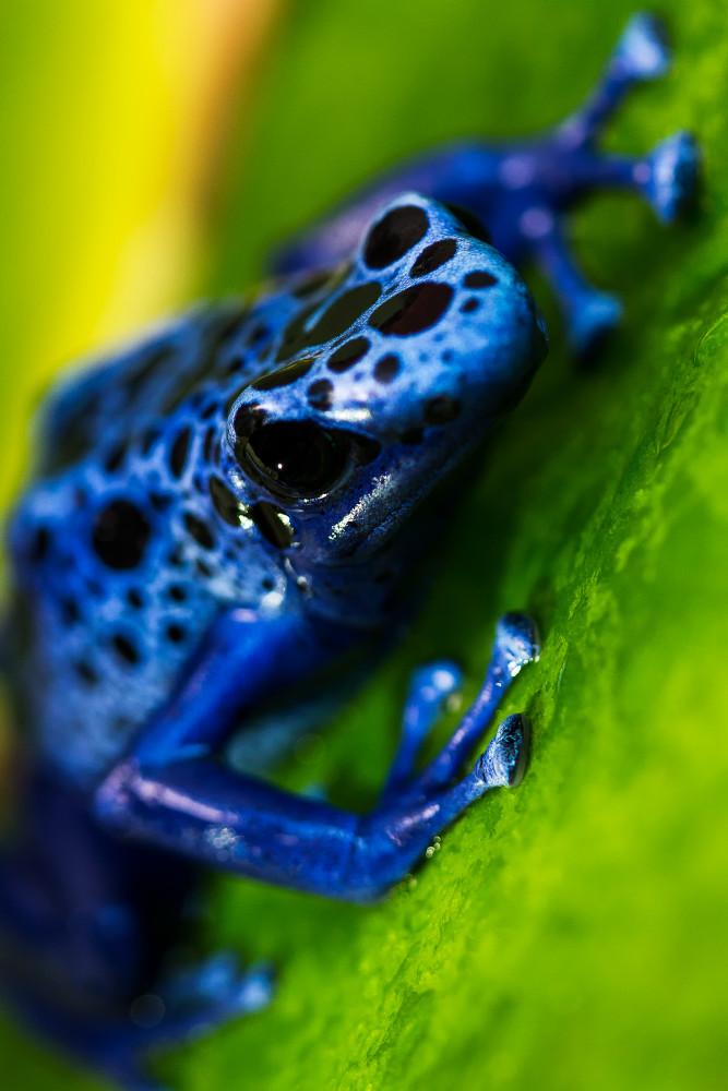 more photos 3330c c0b61 Blue Poison Dart Frog Portrait
