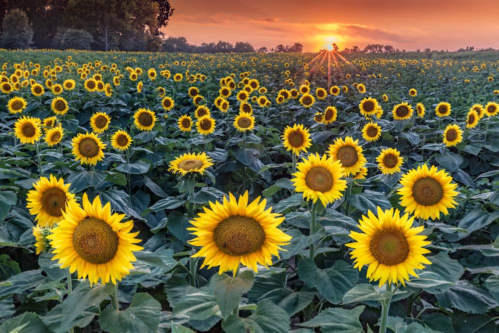 Purchase Sunset on Kansas Sunflower Field as fine art by Mike Jensen