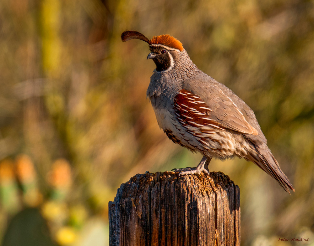 Quail on Post