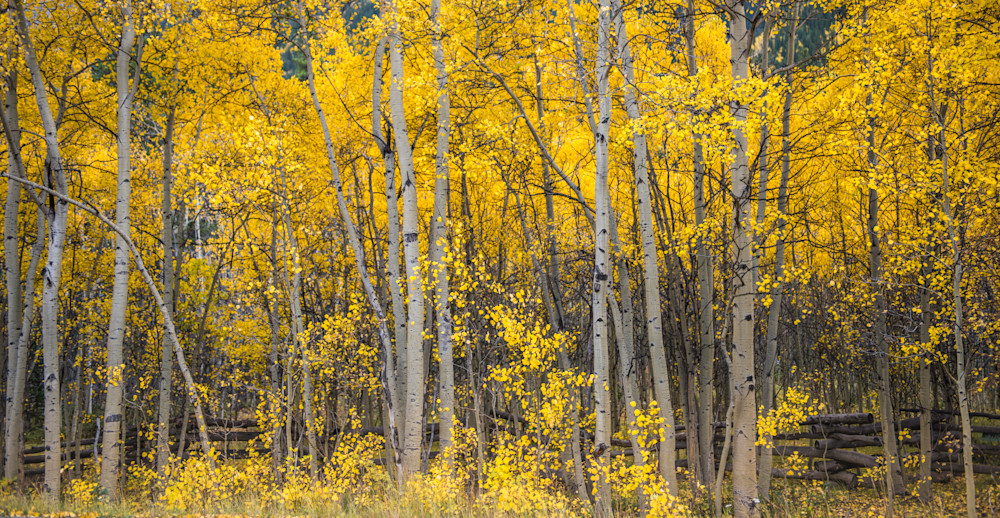 Fence through the aspens