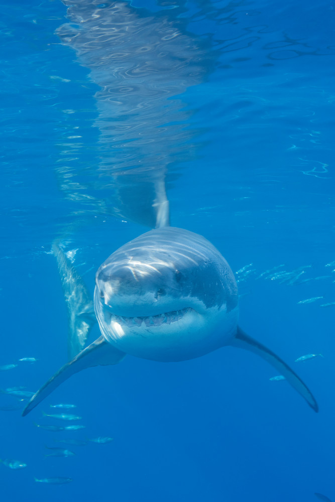 Great White Shark Head On, Guadalupe Island, Mexico