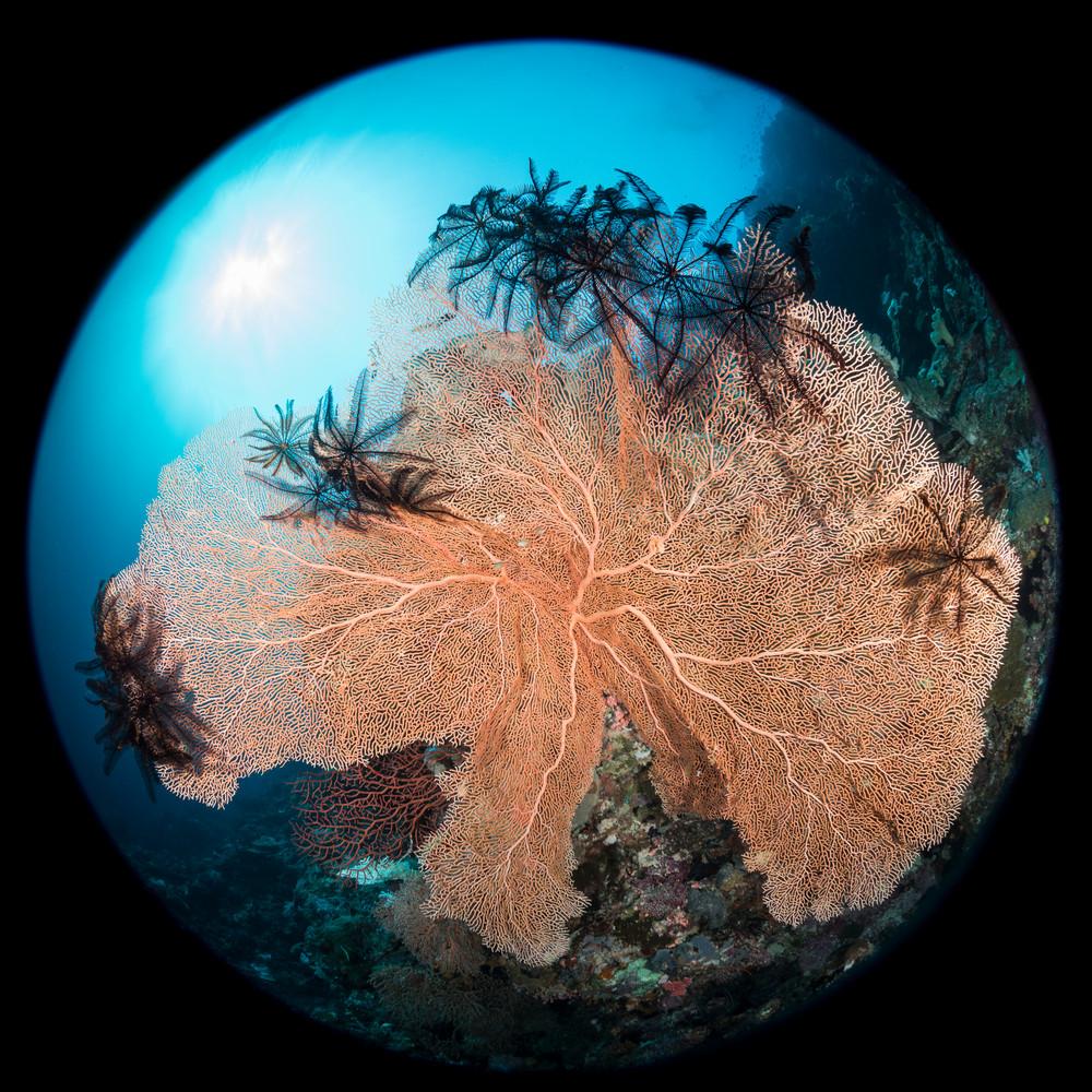 Circular Sea Fan, Solomon Islands