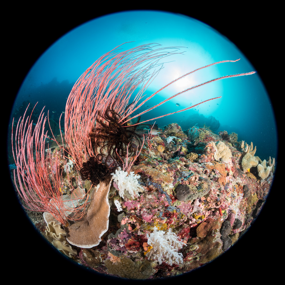 Circular Red Whip Corals, Solomon Islands