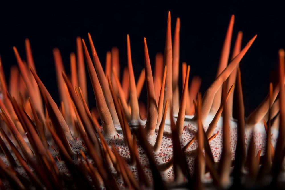 Crown of Thorns Sea Star Spines, Solomon Islands
