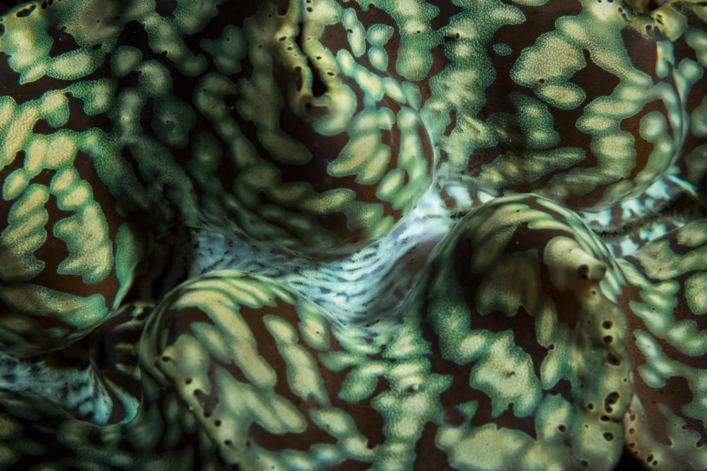 Giant Clam Detail, Solomon Islands