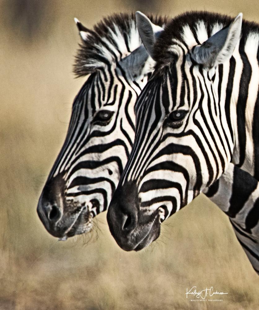 Zebras Gazing
