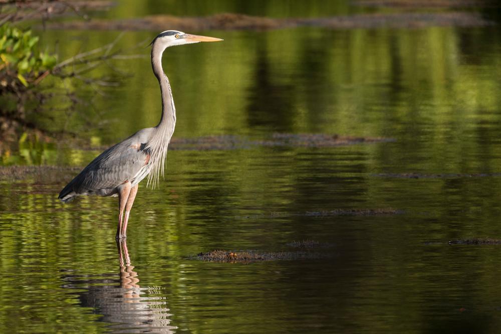 Great Blue Heron Reflection, Sanibel Island, Florida