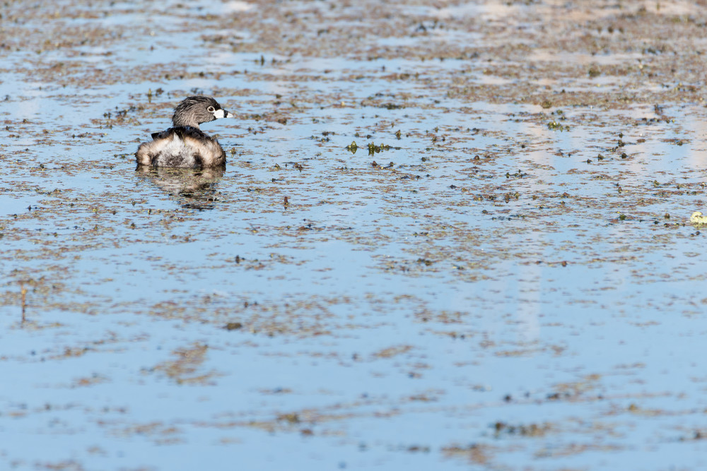 Pied-billed Grebe Reflection, Damon, Texas