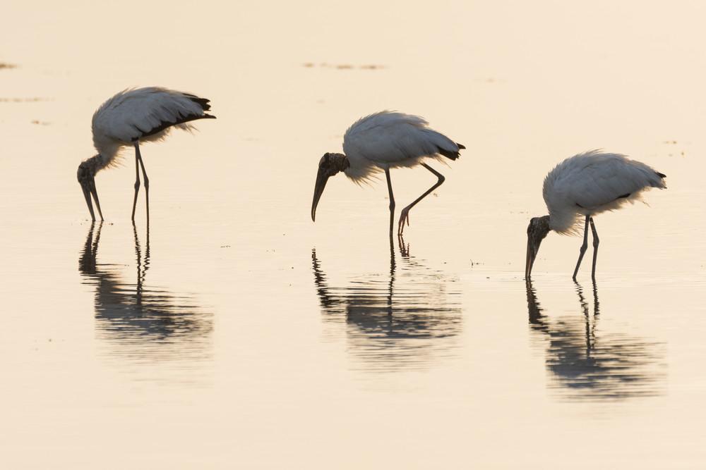Wood Stork Reflections 2, Sanibel Island, Florida
