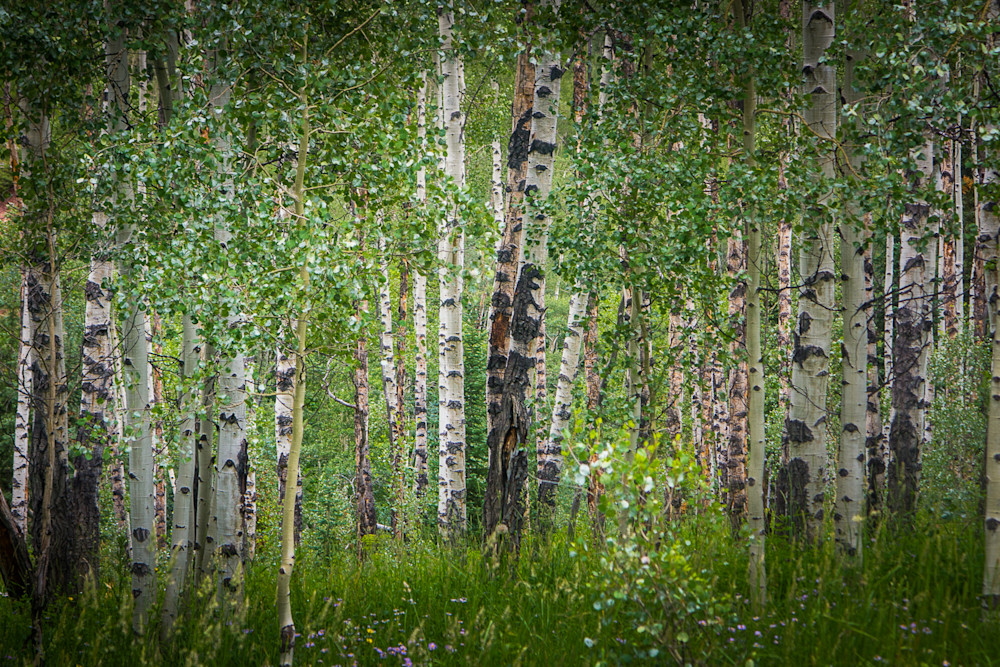 Colorado, Landscape, Photography, Aspens, Summer, Forest, Aspen Snowmass Wilderness,Conundrum Trail