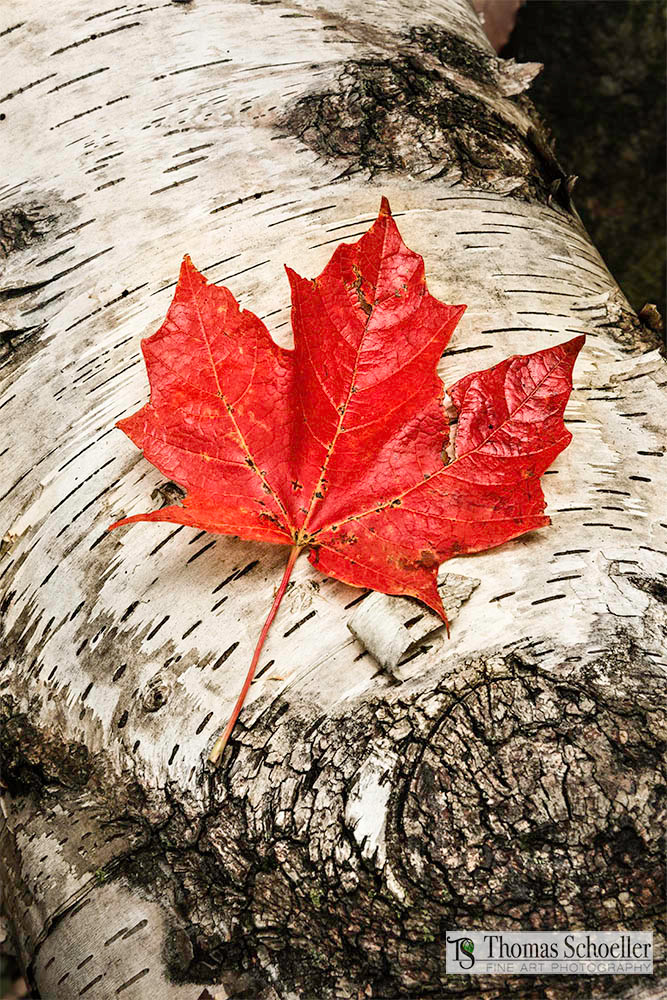 Nature Inspired autumnal semi-abstract Forest Floor fine art prints/Scarlet Maple leaf on a White Birch trunk