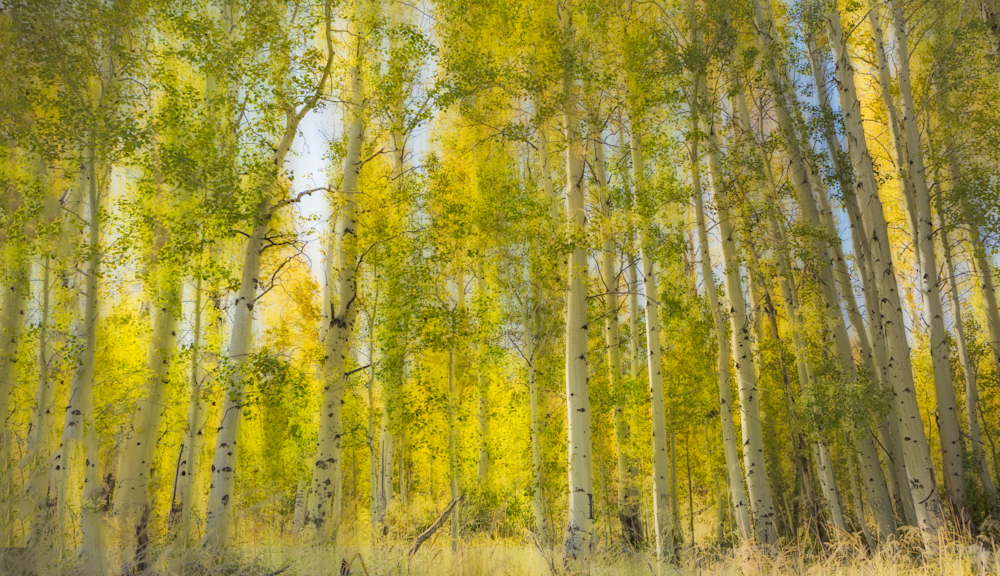 Glow Around the Aspen Tree Trunks
