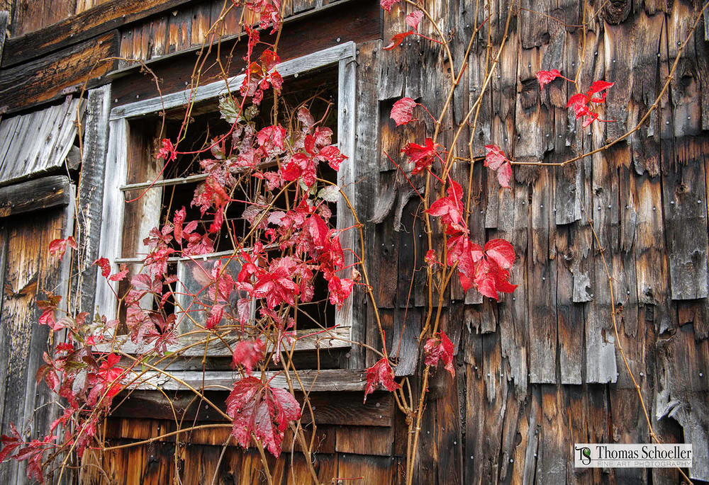 Old Barn artwork featuring weathered cedar shakes and scarlet red Virginia Creeper vines/Tom Schoeller Fine Art photography prints