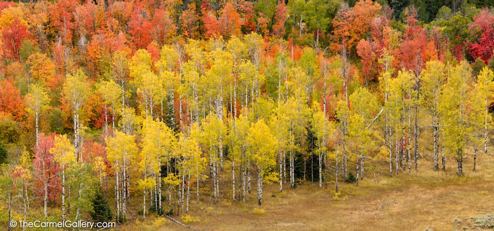 Aspen forest photo