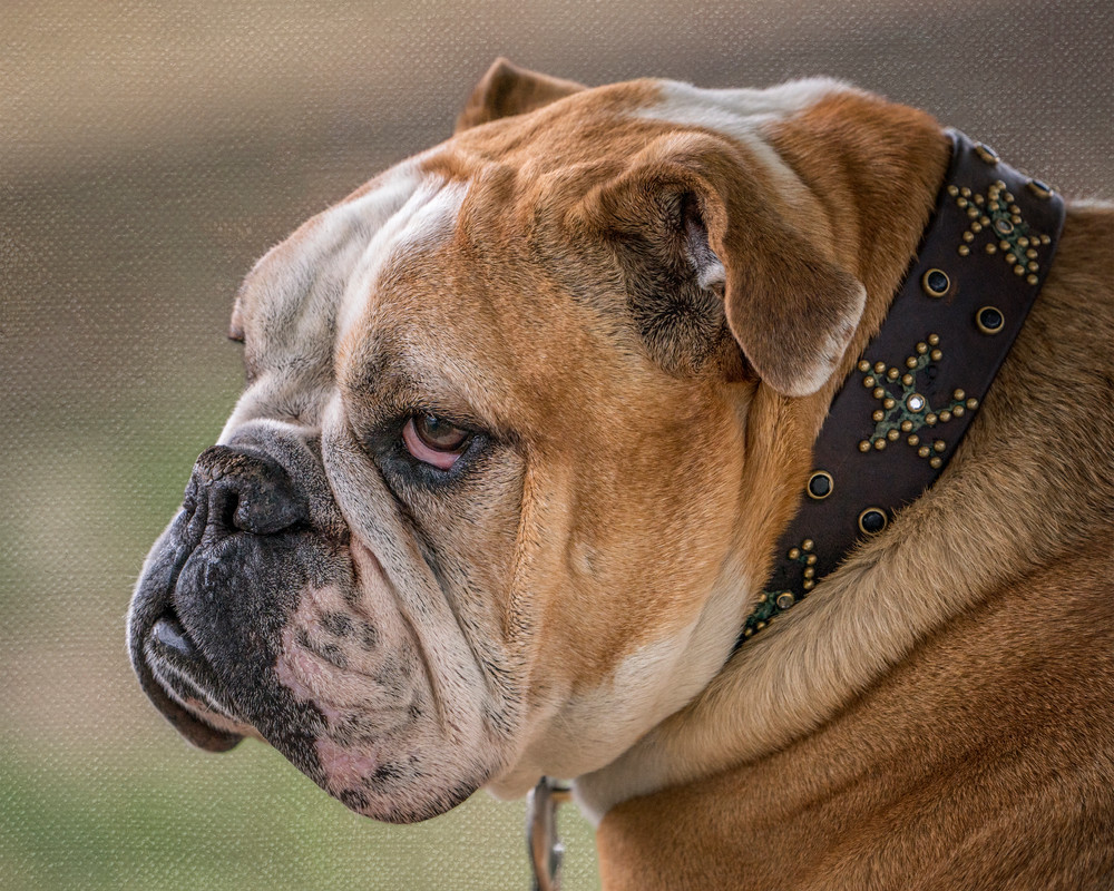 bulldog head portrait photography