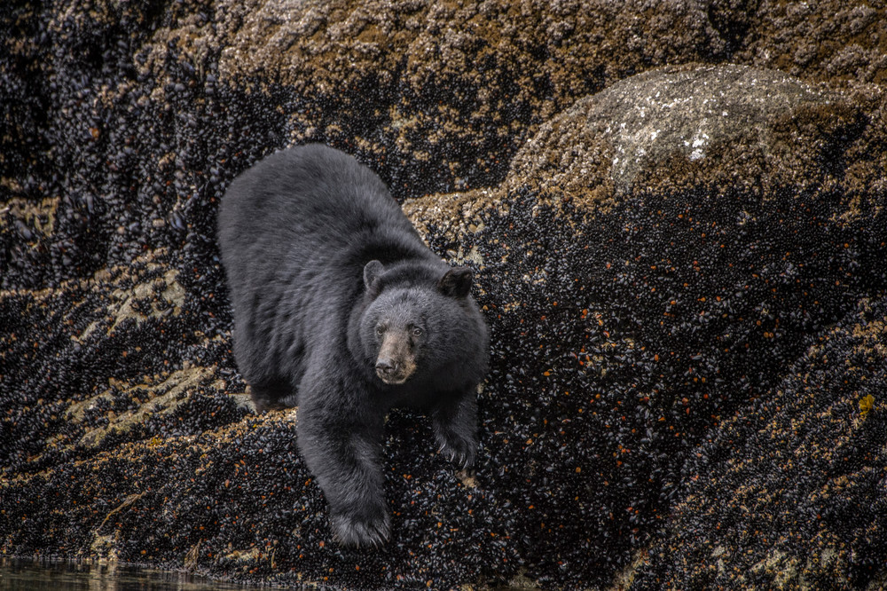 Black Bear at Low Tide - Campbell River, British Columbia, Canada 2014