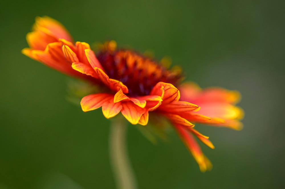 Indian Blanketflower - Tucson, Arizona 2013