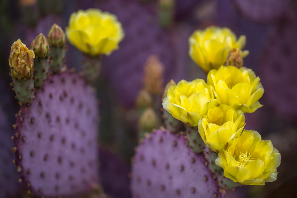 Santa Rita Prickly Pear Bloom #3     Photography Art | Carol Brooks Parker Fine Art Photography