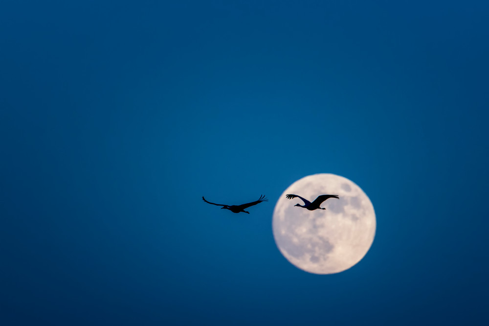 Sandhill Cranes Silhouetted by Full Moon - Bosque del Apache, Socorro, New Mexico 2012