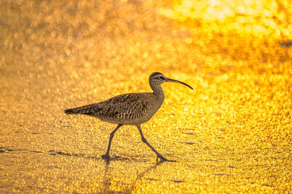 Curlew At Sunrise    Photography Art | Carol Brooks Parker Fine Art Photography