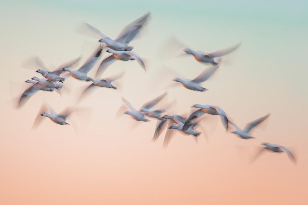 Snow Goose Pastels - Bosque del Apache, Socorro, New Mexico 2015