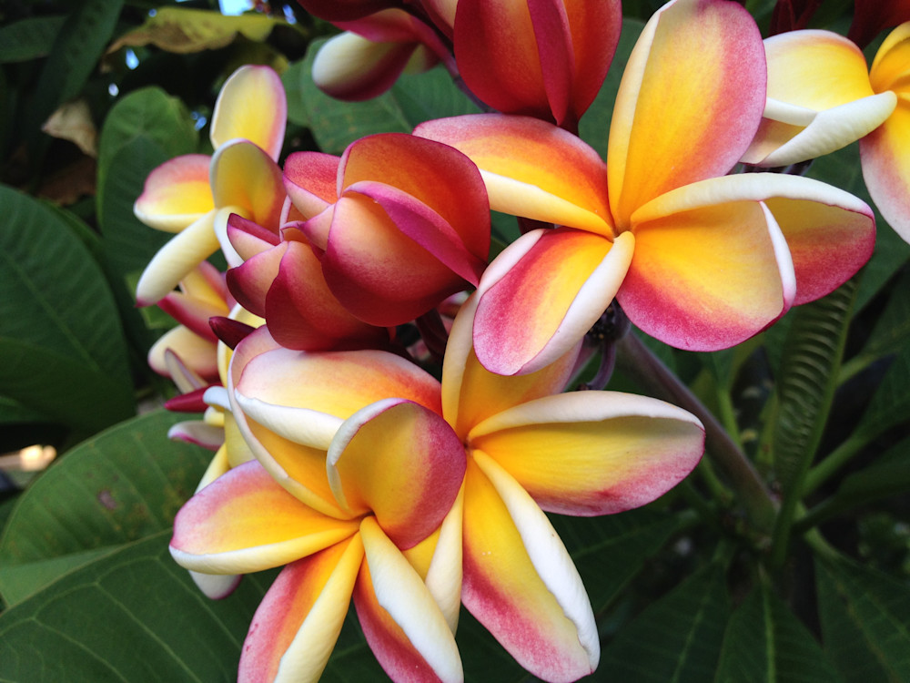 Yellow and White Plumeria