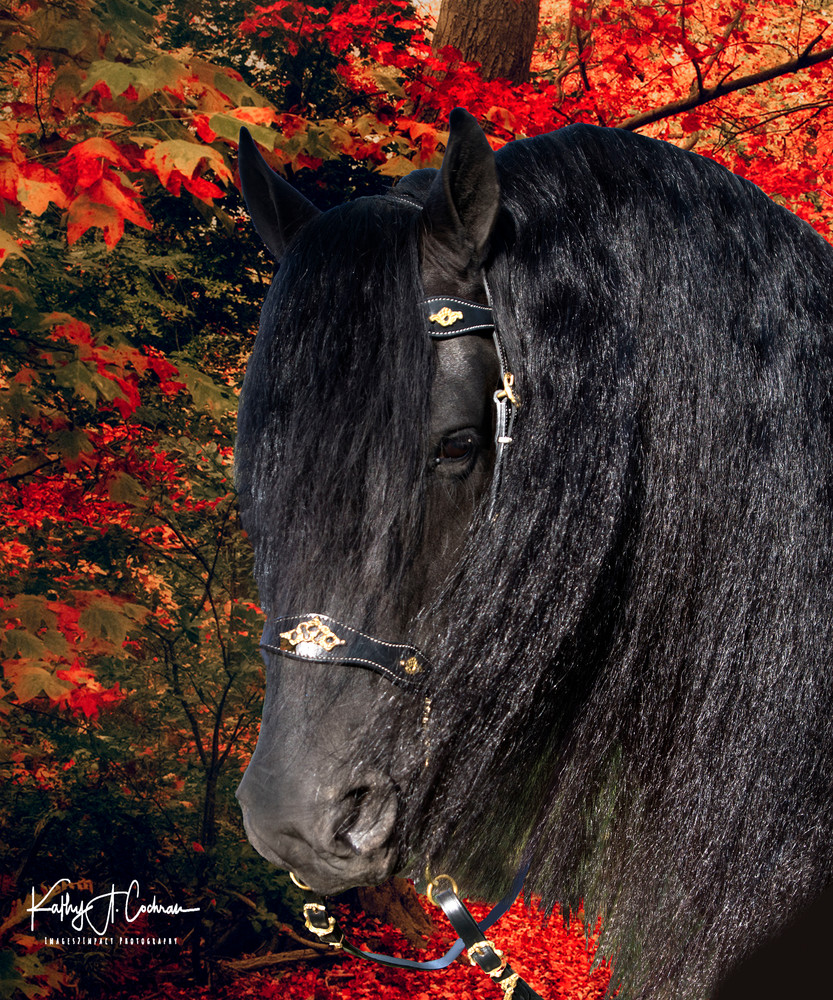 Fresian In Autumn Photography Art | Images2Impact