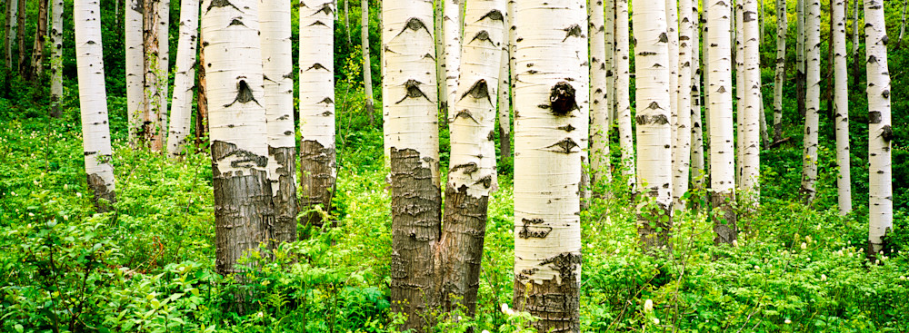 COL-T014  • Aspen Trees, Colorado