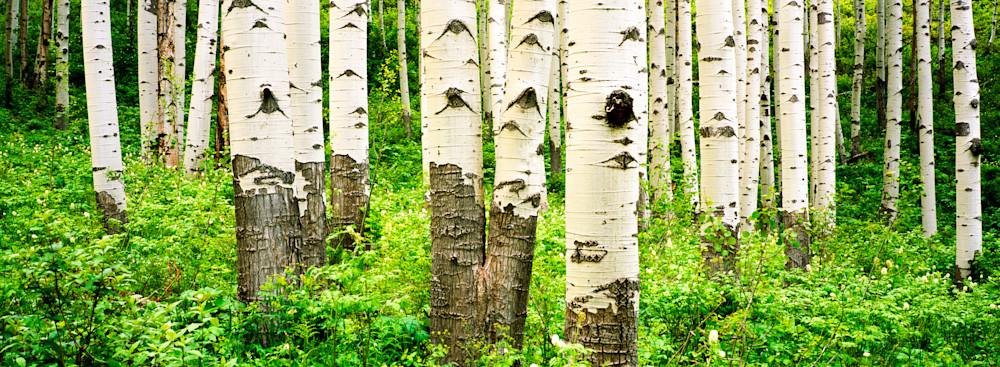 COL-T014  •Aspen Trees, Colorado