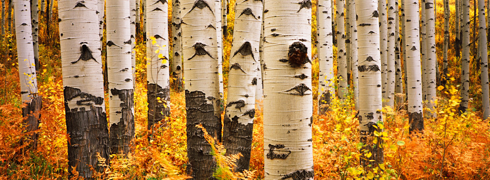 COL-T013  • Aspen Trees, Colorado