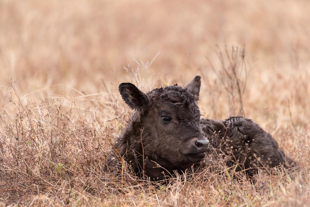 Chocolate Newborn Calf, Damon, Texas