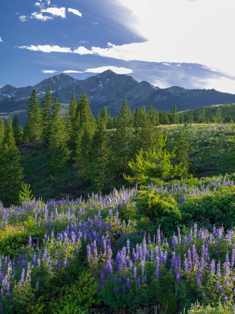 FRS-D-8403766 • Lupine View