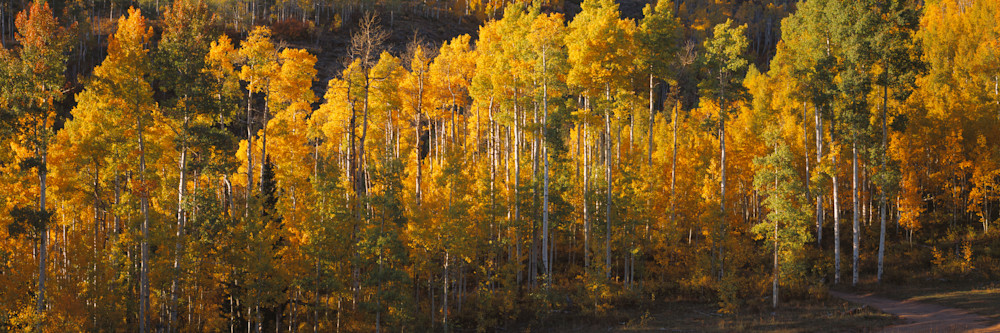 COL-T010 • Colorado Aspen Trees, Fall