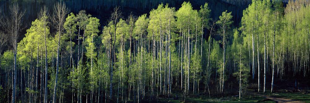 SUM-T056 • Springtime Aspen Grove