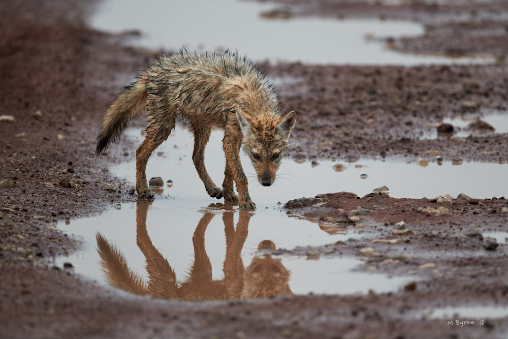 A fine art image of a golden jackal checking is reflection.