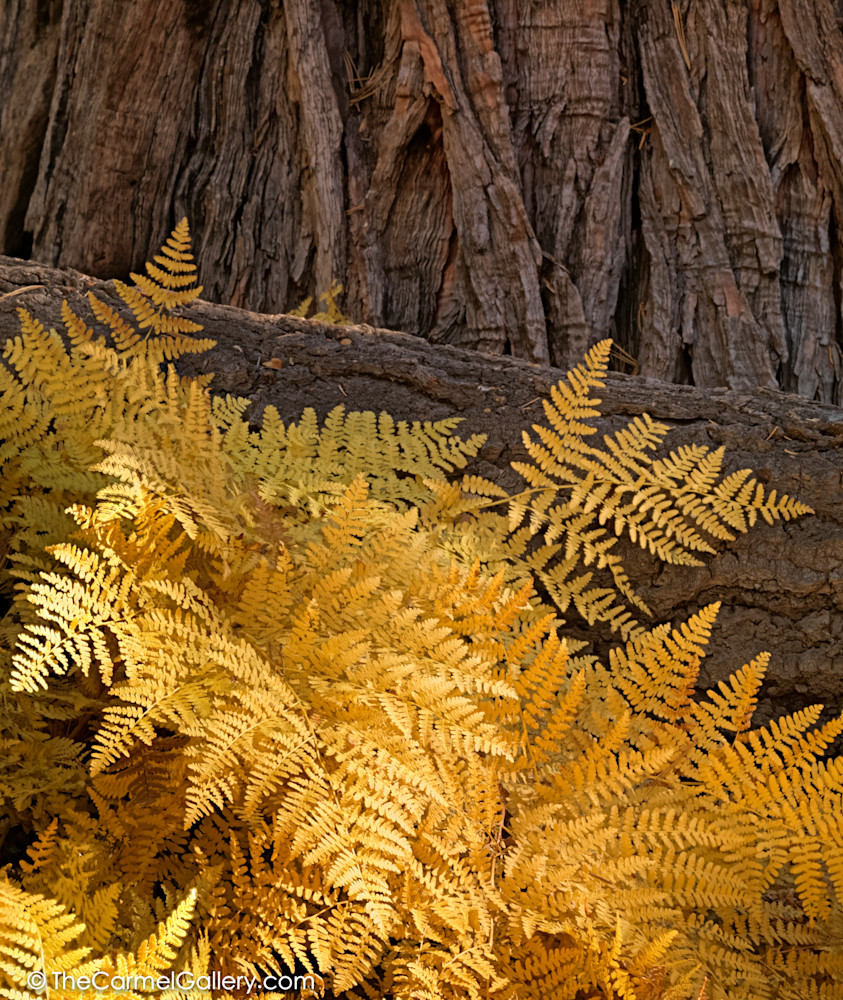 Golden Ferns