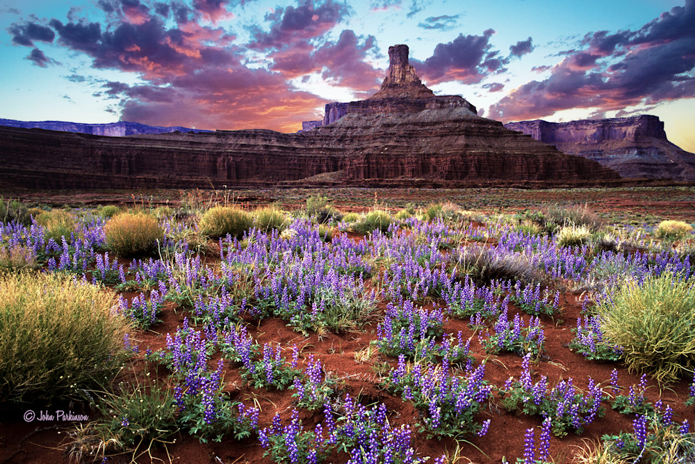 Blue Pod Lupines adorn the landscape in Canyonlands National Park