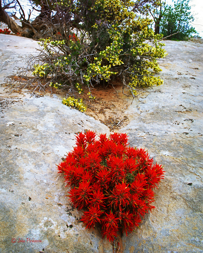 Indian Paintbrush thrives on a rock in Arches National Park, Utah